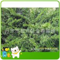 精品红豆杉批发精品红豆杉优质精品东北红豆杉北方红豆杉