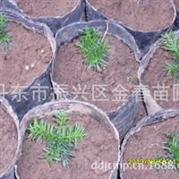 低价苗圃红豆杉东北红豆杉小苗批发规格齐全量大优惠