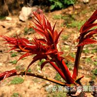 山东泰安香椿种子