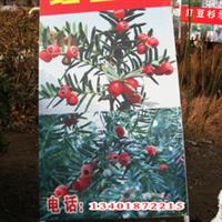 基地海量批发各种规格红豆杉(图)