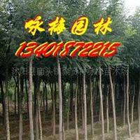海量批发各种绿化苗木-刺槐(图)