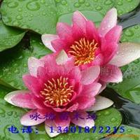 销售优质--睡莲等各种水生植物(图)