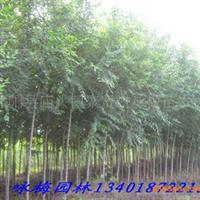咏梅苗木园林大量销售优质--白榆(图)