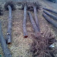 大量15公分榆树出售裸根截杆