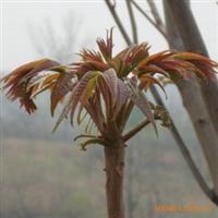 供应树上蔬菜种子香椿种子香椿籽红油香椿种子香椿树种子