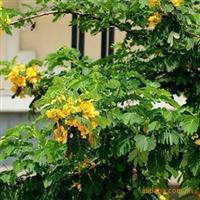 批发金合欢种子合欢树种子别名银荆种子翼添苗木种子批发