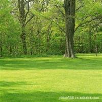 供应运动场高尔夫球场专用草皮草坪种子天堂草种子百慕大草种子