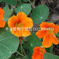 春秋都可以播种旱金莲种子多年生攀援花卉种子