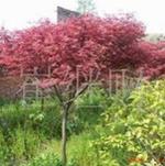 大量供应各种规格绿化苗木紫叶李