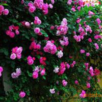 专业供应攀援类植物蔷薇