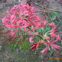 供应红花石蒜彼岸花