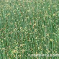 供应水生植物小水葱园林风景绿化植物绿化苗木