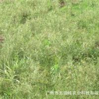 厂家供应水生植物卡开芦水竹园林风景绿化植物花卉苗木出售
