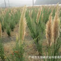 供应水生植物矮蒲苇园林风景植物绿化苗木厂家自产自销
