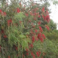 广州苗圃广东绿化树园林苗圃树木串钱柳广州绿化绿化苗圃