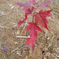 专业批发供应鸡爪槭种子有美国红枫种子有广玉兰种子等