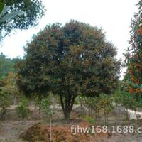 中国丹桂之乡直径26厘米的高档特大丹桂花红叶茂的桂花树苗木