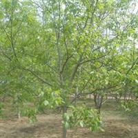10-30公分的核桃树大量供应