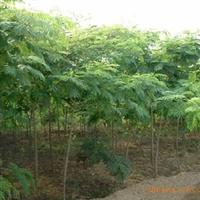 合欢,农业,绿化苗木,乔木,树苗。