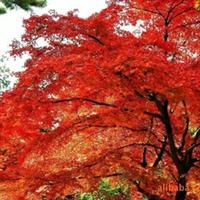 水杉,绿化苗木,乔木,花卉,树苗。
