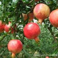 批发供应大红袍石榴树石榴苗落叶灌木或小乔木