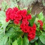 供应花卉苗木观花植物种子鸡冠花种子