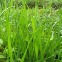 供应草籽、一年生黑麦草、高产、宽叶、再生快、价值高
