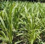 供应优质金边麦冬草,3-8个头,高10-30cm