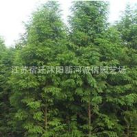 直销一级绿化苗落羽杉,树形优美