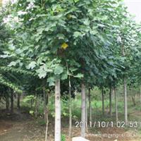 出售绿化苗木鹅掌楸,米径8cm,高6-8米