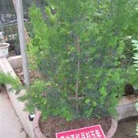 出售优质苗木曼地亚红豆杉种苗,高80-100cm
