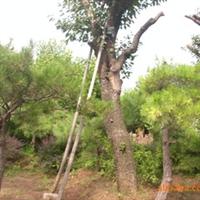 专业供应行道树---柿子树