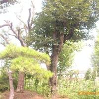 供应柿子树(来电洽谈)