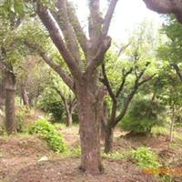 专业供应绿色苗木柿子树