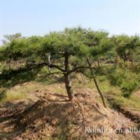 供应(莱芜市林辉绿化工程)柿子树