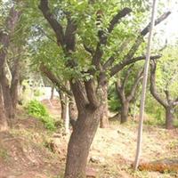 供应农业果树柿子树山东莱芜柿子树