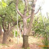 供应成活率高的柿子树苗优质柿子树