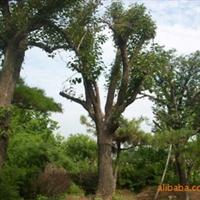 高品质绿化柿子树山东莱芜绿化苗木