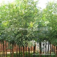 海艺园林供应优质白蜡绿化工程苗木厂家直销