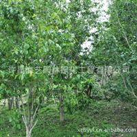 海艺园林供应优质杜仲树各种规格厂家直销