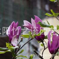 直销绿化苗木紫玉兰工程行道树园林苗圃量多价廉