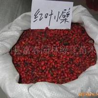 供应红叶小檗种子