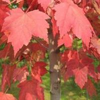 常年供售美国红枫种子,80%发芽率