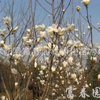 供应白玉兰,白玉兰苗,白玉兰树,白玉兰花,望春玉兰