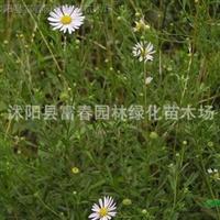 供应多年生四季青-黑麦草,黑麦草种子,黑麦草直销基地