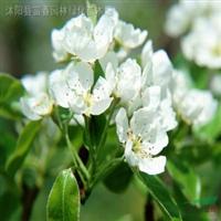 供应水生植物-姜花,别名野姜花