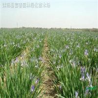 供应水生植物-马蔺,又名马莲、马兰、马兰花