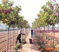 供应水生植物-芦苇,芦苇种苗,芦�Y,芦苇基地,又名芦�Y