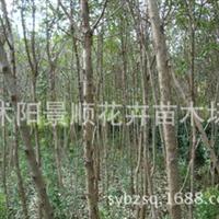 供应水生植物-狼尾草,苏北狼尾草直销基地