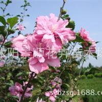 供应:木槿苗木木槿花木槿树苗多规格木槿价格